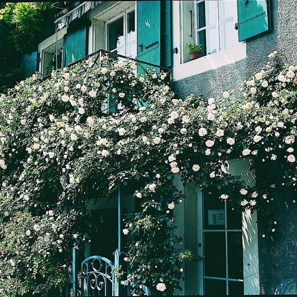 rosier liane alb ric barbier roses guillot. Black Bedroom Furniture Sets. Home Design Ideas