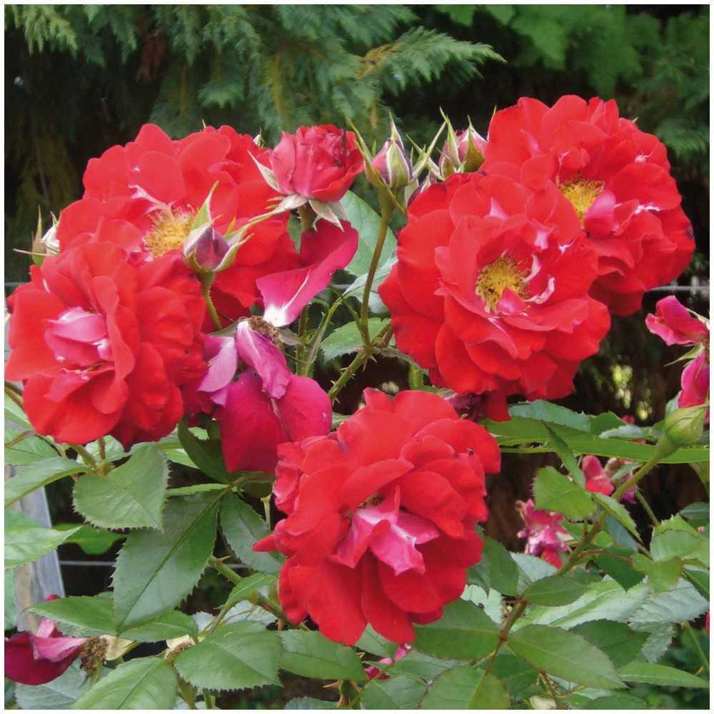 Rosier jardins fruitiers de laquenexy roseraie guillot - Jardins fruitiers de laquenexy ...