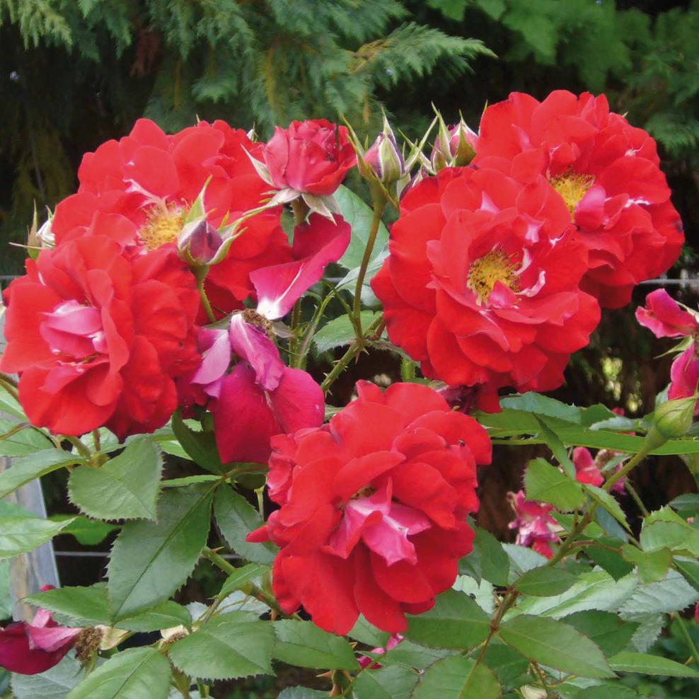 Jardinage rosier achat vente de jardinage pas cher - Rosier buisson pas cher ...