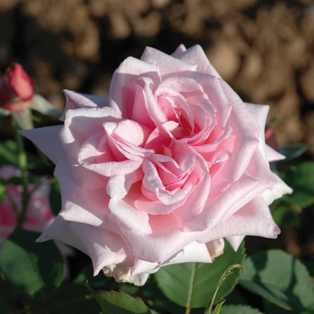 Rosier la france roseraie guillot for Rosier jardin de france