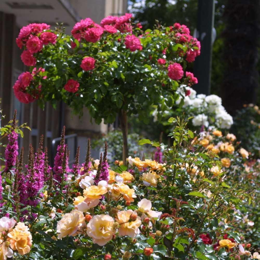 rosier couvre sol calizia decorosiers