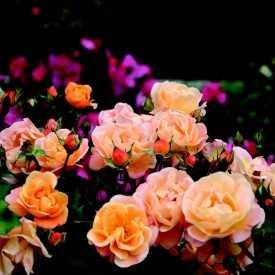cr ation et production de rosiers roses guillot. Black Bedroom Furniture Sets. Home Design Ideas