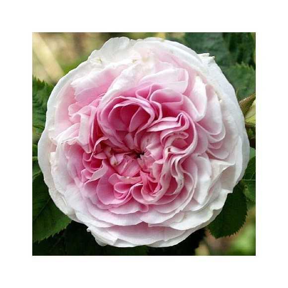Rose ouverte Félicité Parmentier