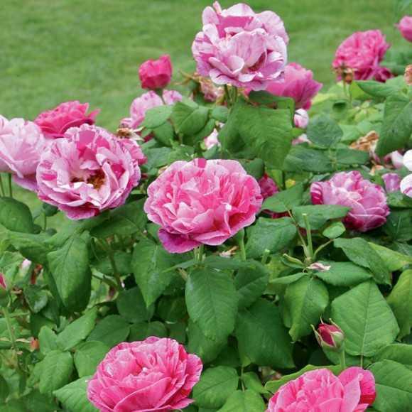 Massif de roses Ferdinand Pichard