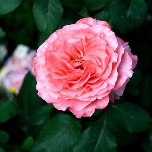 Rose Laurent Cabrol®