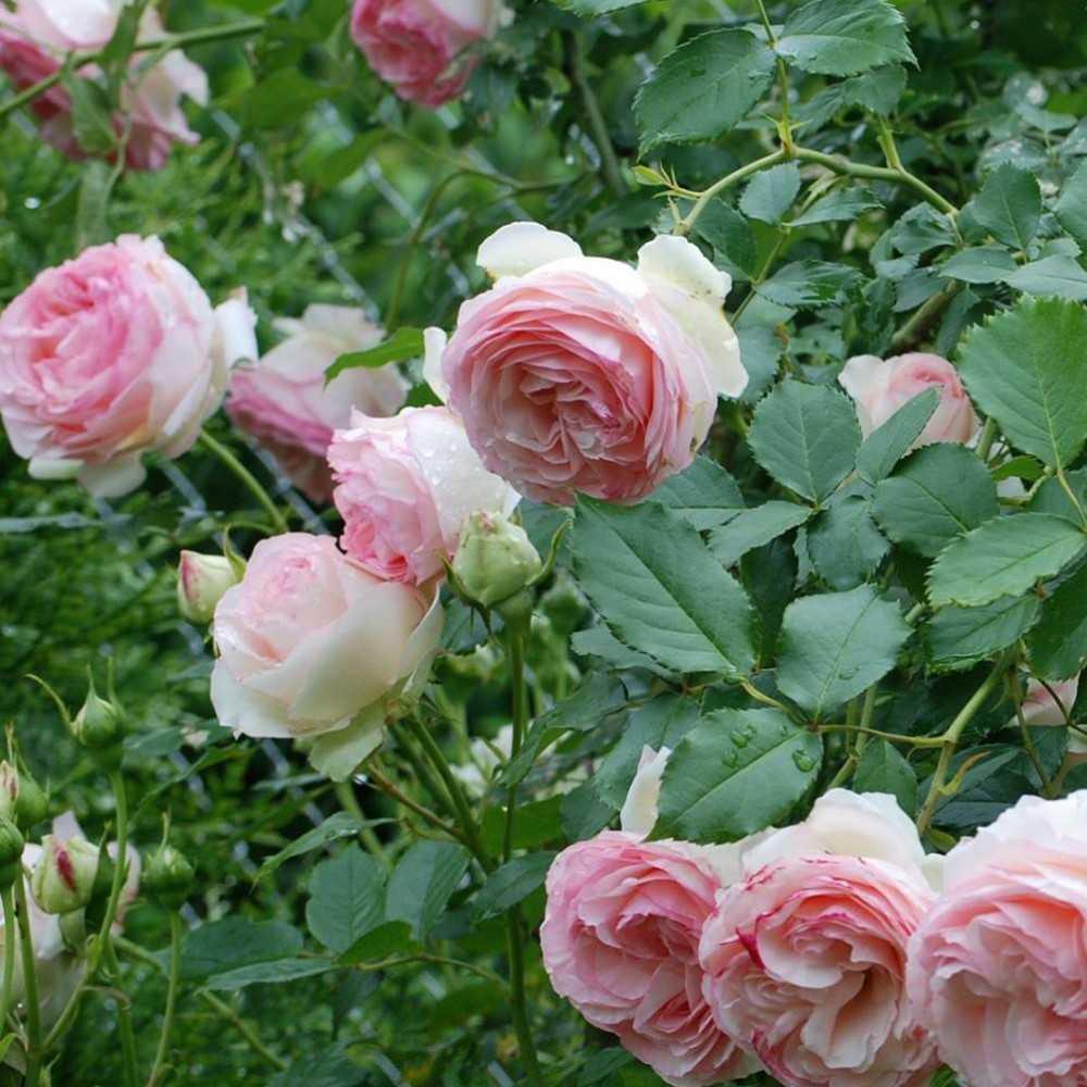 Rosier grimpant pierre de ronsard roseraie guillot - Rosier en pot soleil ...