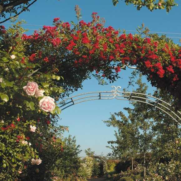 Rosiers grimpants roses guillot - Arche pour rosier grimpant ...