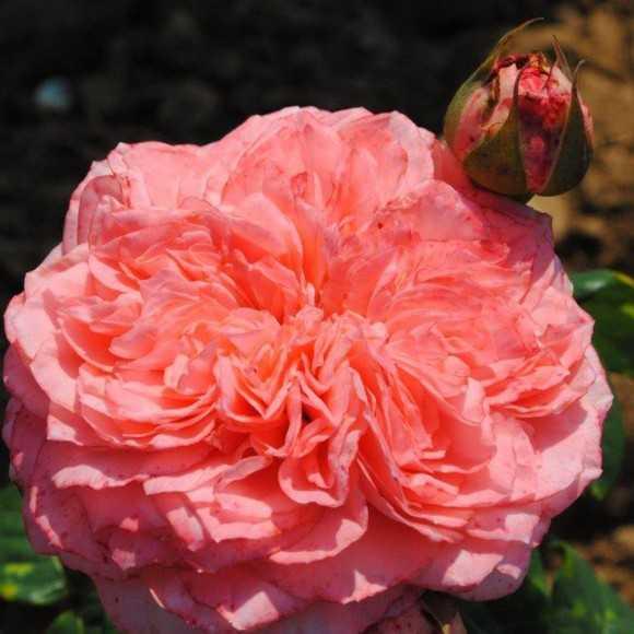 Rose Lorenzo Weisman®