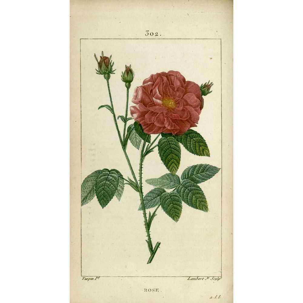rosier rosa gallica officinalis ou rose de provins roseraie guillot. Black Bedroom Furniture Sets. Home Design Ideas