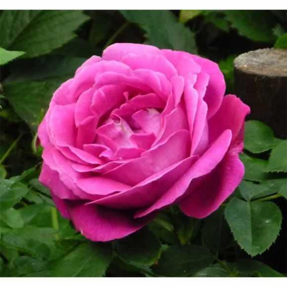 Rose Ulrich Brunner