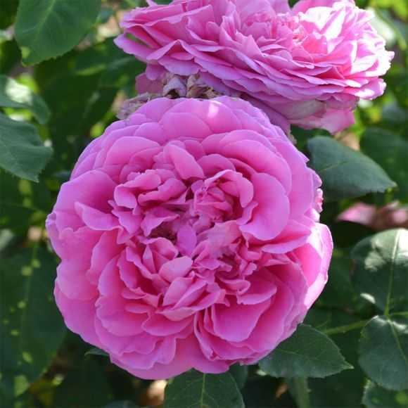 Roses Paul Neyron
