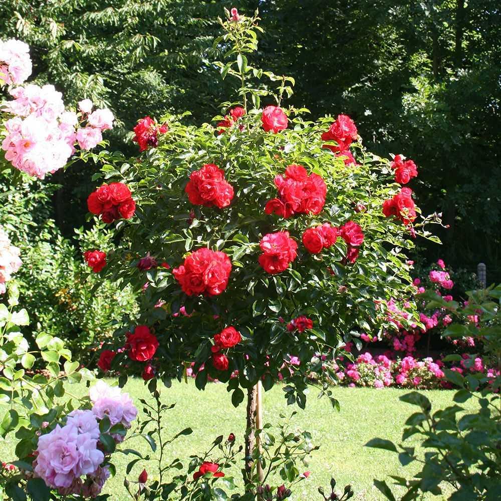 rosier tige rouge decorosiers kadora guillot vente de. Black Bedroom Furniture Sets. Home Design Ideas