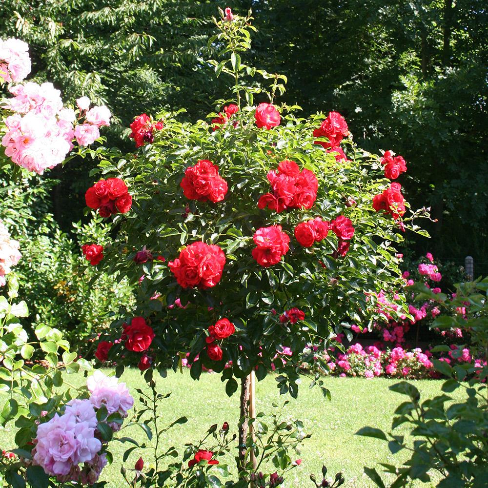 rosier tige achat vente de rosier pas cher. Black Bedroom Furniture Sets. Home Design Ideas