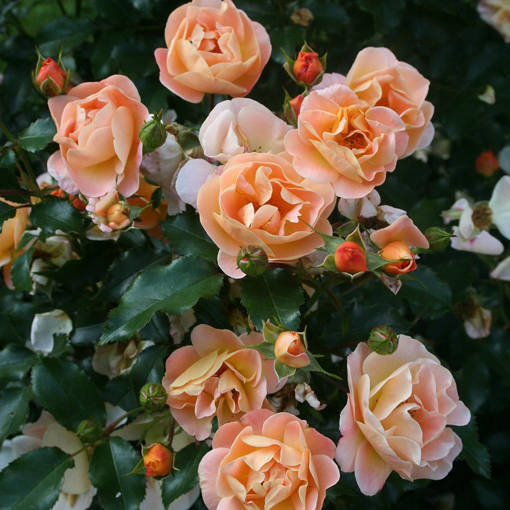 Rosiers decorosiers achat vente de rosiers pas cher - Rosier buisson pas cher ...