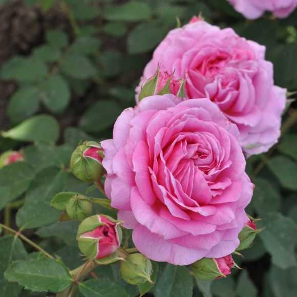 Roses Pink Flamingo