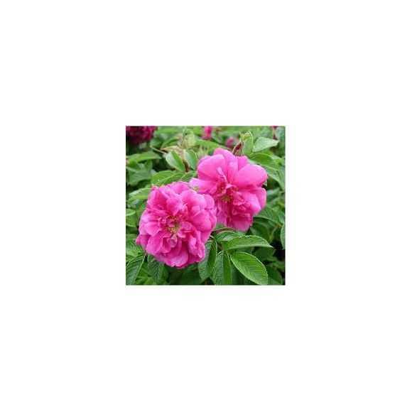Roses Rosa rugosa Hansa