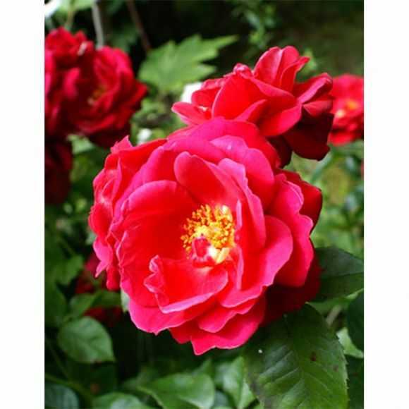 Rose Désirée Clary®