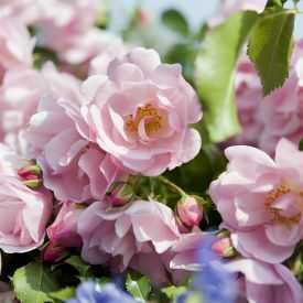 Rose Mareva