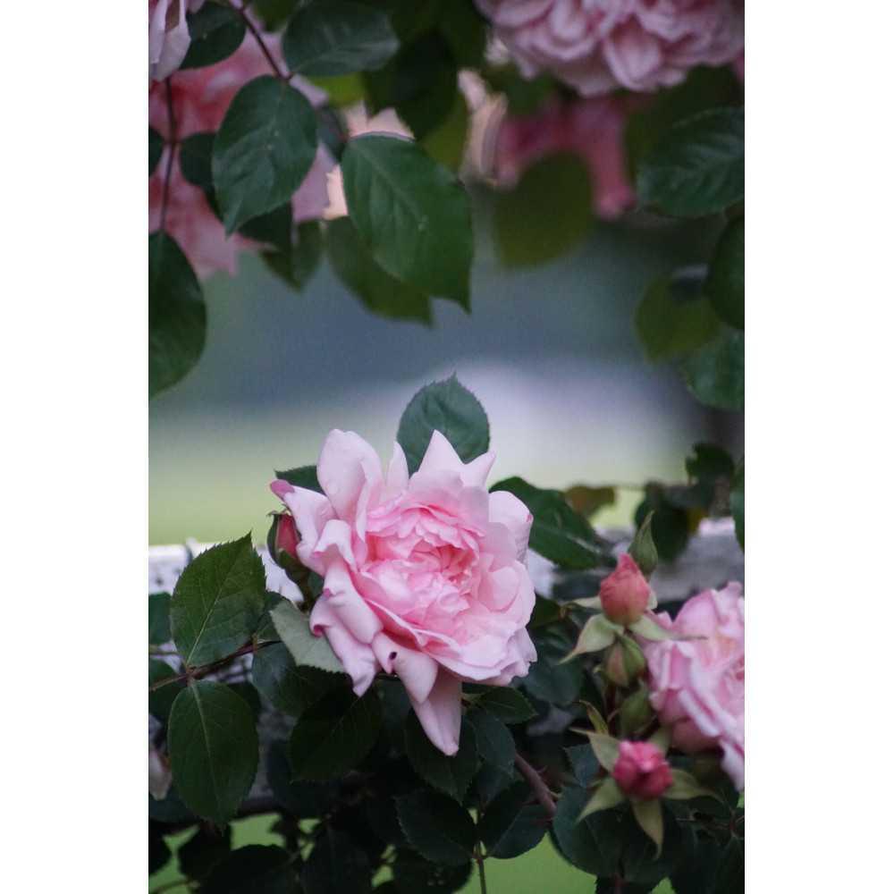 b709a7e27400b9 Rosier liane Albertine - Roses Guillot