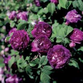 Roses pourpre Cardinal de Richelieu