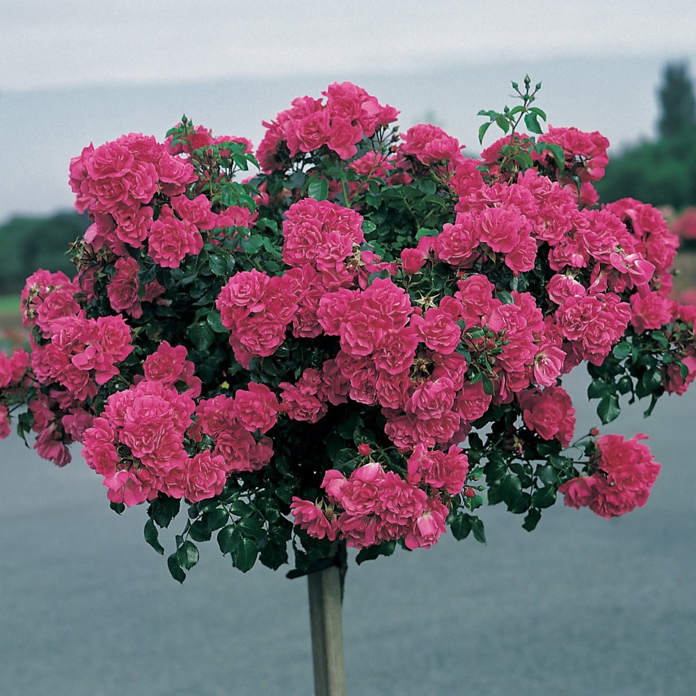 rosier tige fuschia emera rosier tige roses guillot. Black Bedroom Furniture Sets. Home Design Ideas
