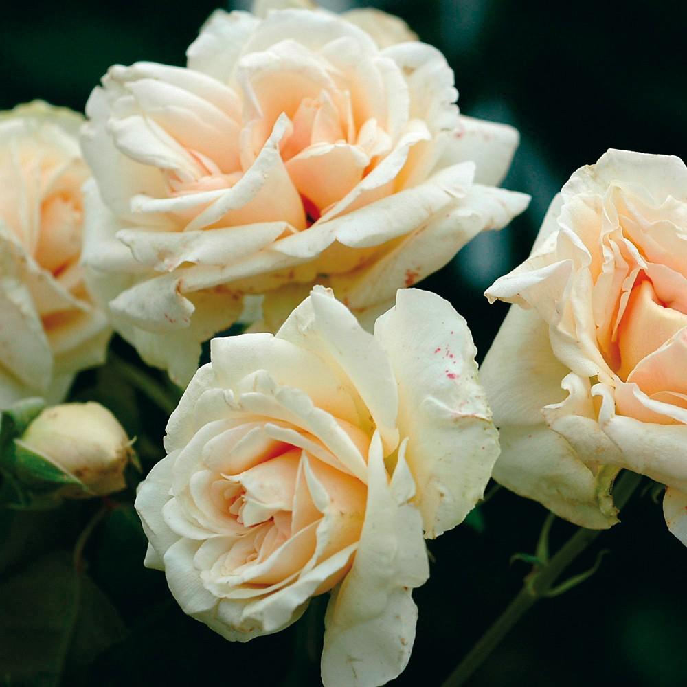 Bouquet d' Or