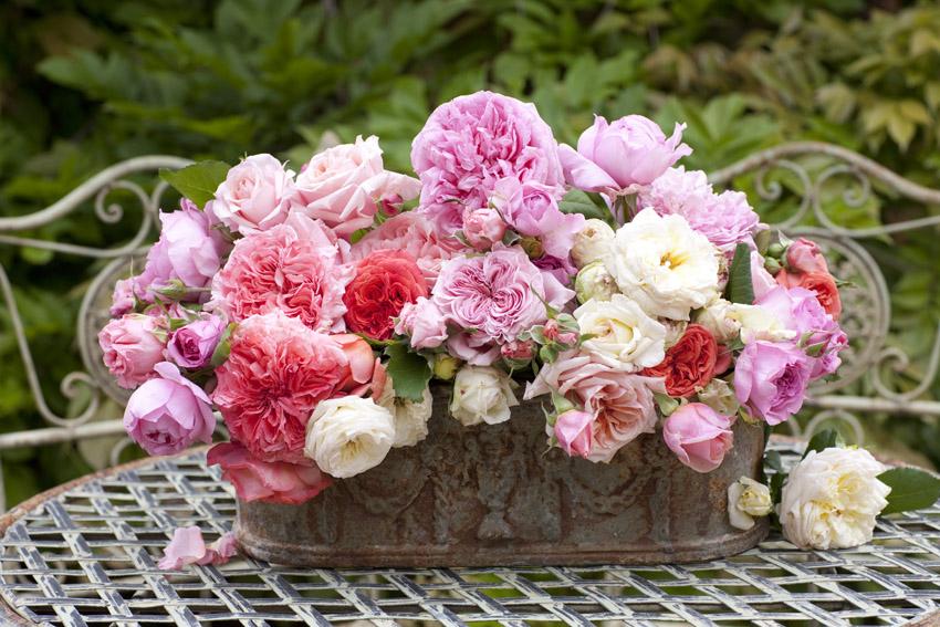 Roses Guillot