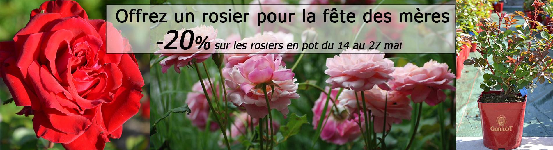 -20% sur tous les rosiers en pot