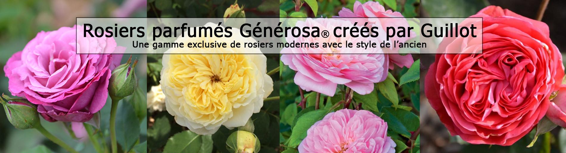 Une gamme de plus de 70 rosiers aux couleurs, formes et parfums variés
