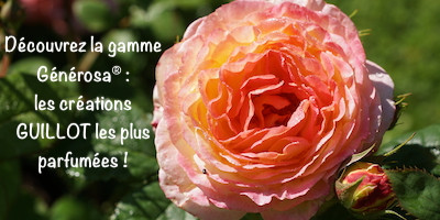 Création rosiers parfumés Générosa®