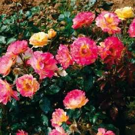 Terre de roses® Guillot - Emile Debroise®