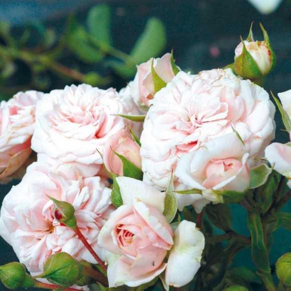 Rosier Fleurs Groupées Guillot® - Emile Garcin®