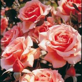 Rosier Fleurs groupées Guillot® - Fragrant Apricot®