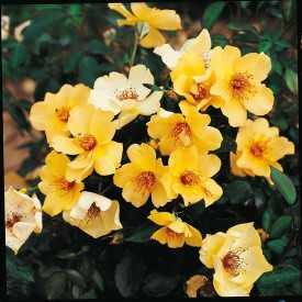 Rosier Fleurs groupées Guillot® - Francine Royneau®