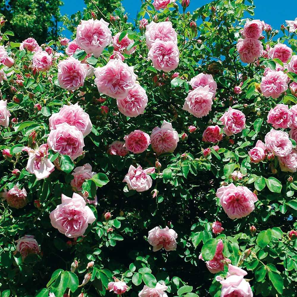 Couper Les Rosiers En Octobre taille des rosiers: tout ce qu'il faut savoir - roses guillot