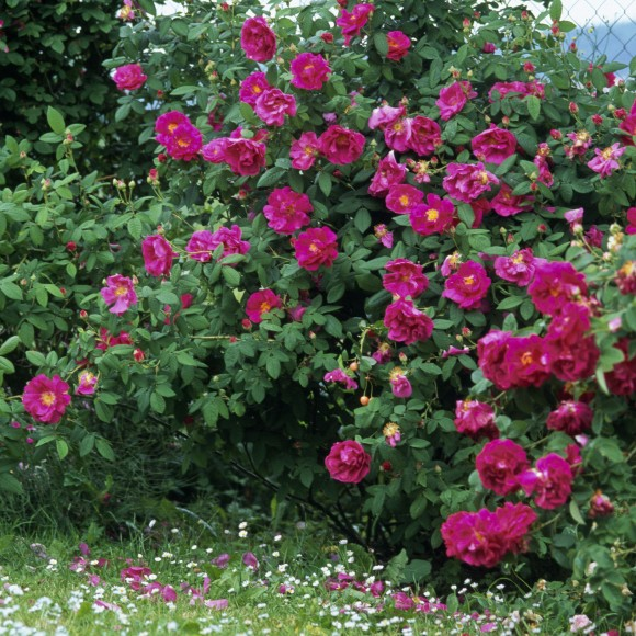 Rose de Provins - Rosa Gallica Officinalis