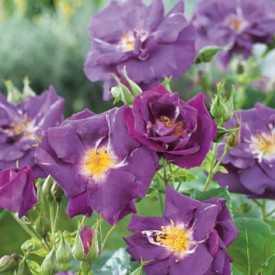Rosier Fleurs groupées - Rhapsody in blue ®