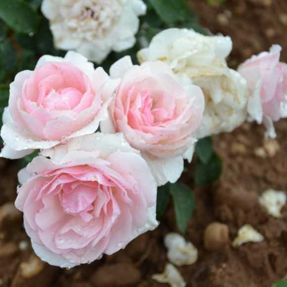 Roses Mémoire de Montluc®