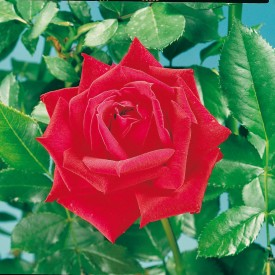 Rosier Guillot® Grandes Fleurs - Red Masterpiece®