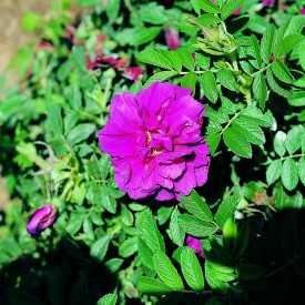 Rosier ancien - Rose à Parfum de l'Hay