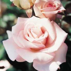Rose Bayard®