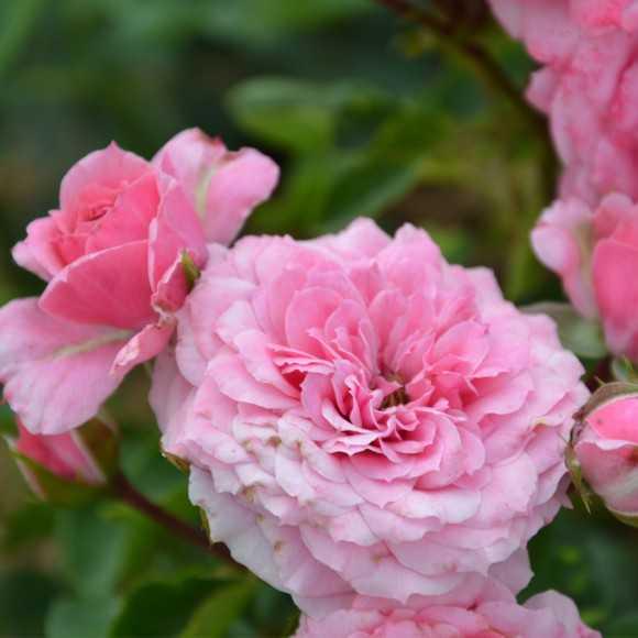Rosier fleurs groupées Guillot®- Marie-sol de la Tour d'auvergne®