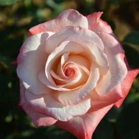 Rosier Guillot® Grande Fleur - Gemini®
