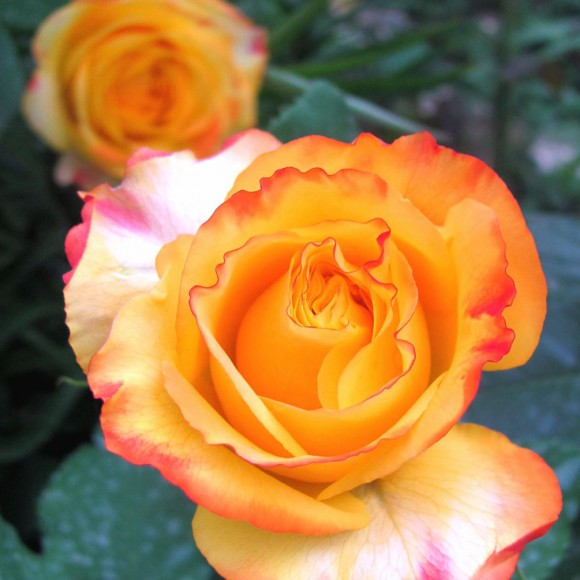 Rosier Tahitian Sunset®