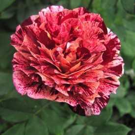Rosier Fleurs groupées Guillot® - Belle d'Espinouse®