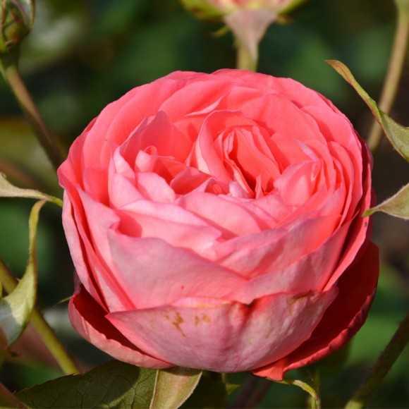 Jeune rose Belle de Dom®