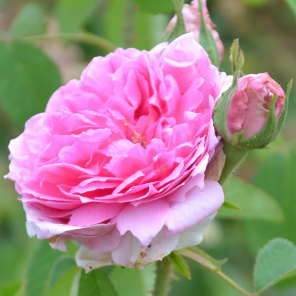 Rosier Ancien - Comte de Chambord