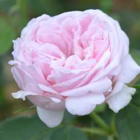 Rosier ancien Guillot® - Comtesse de Barbentane