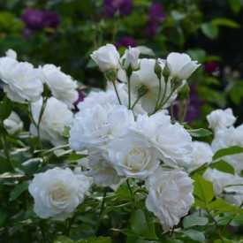 Rosier Fleurs groupées - Fée des neiges (Iceberg)