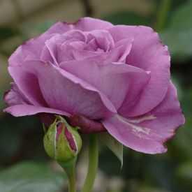Rose Bossuet, Aigle de Meaux®